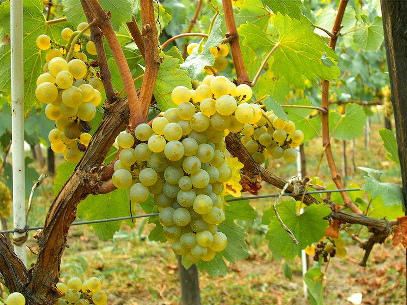 800px-Chardonnay_Moldova